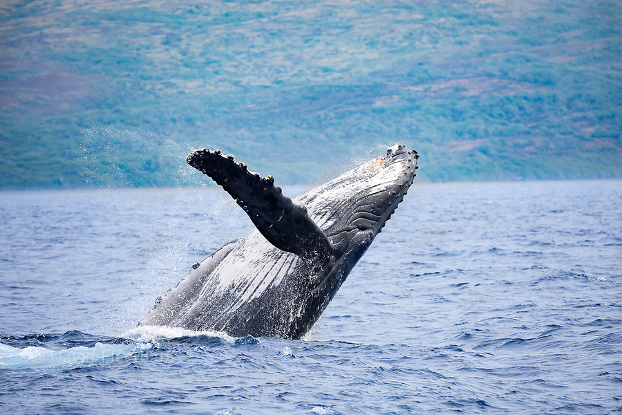 The island of Lanai is in the background of this breaching humpback whale, Megaptera novaeangliae, Hawaii.