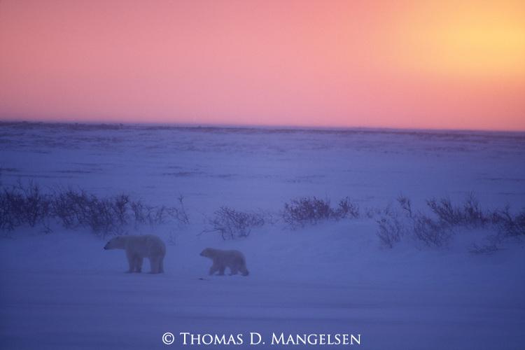 A polar bear cub follows its mother across the snowy landscape of Churchill, Manitoba, Canada.