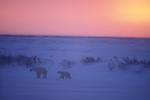 A polar bear cub follows its mother across the snowy landscape of Churchill, Manitoba, Canada.