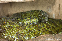 0430-1110  Mang Mountain Pit Viper (China Mangshan Pitviper), Only Non Cobra that Can Spit Venom, Zhaoermia mangshanensis (syn. Trimeresurus mangshanensis)  © David Kuhn/Dwight Kuhn Photography