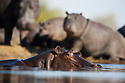 Botswana, Moremi Game Reserve, Okavango Delta, Hippopotamus (Hippopotamus amphibius) , large group of adults and calves resting on shore to warm up in early afternoon during winter, bull swimming in river in foreground