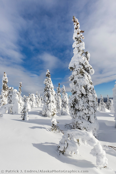 Wind blown snow packs onto white spruce trees in the taiga forest in interior Alaska.