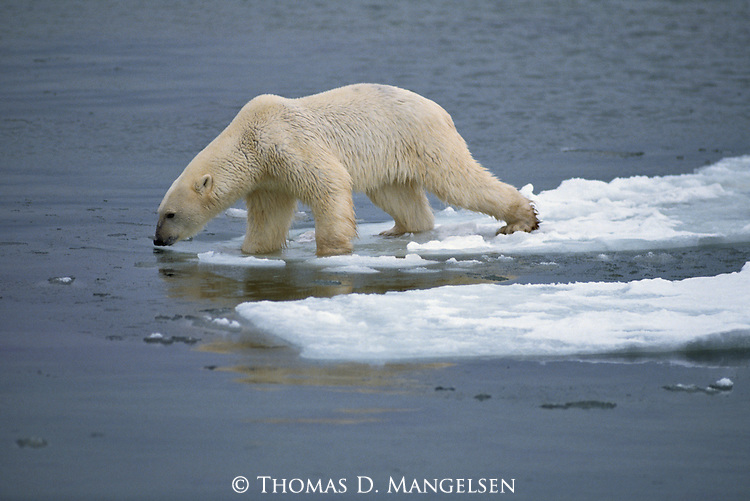 A polar bear stands at the edge of ice.