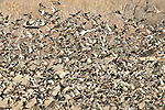 A mass of mallards (Anas platyrhnchos) swarm over their feeding grounds at the Bosque del Apache National Wildlife Refuge, near Socorro, New Mexico.