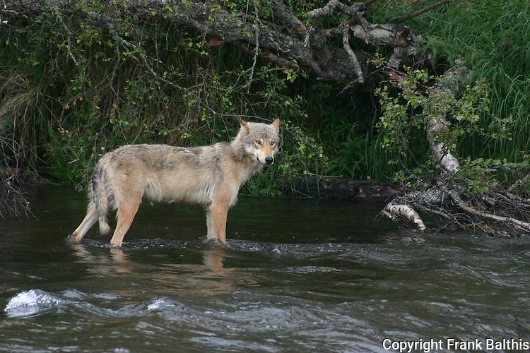 gray wolf fishing