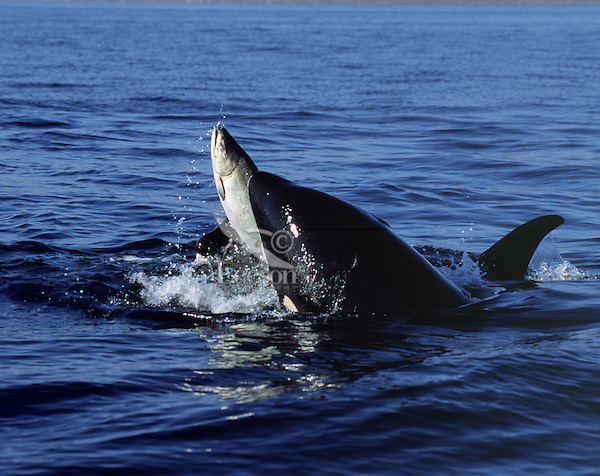 Orca whales playing with salmon.