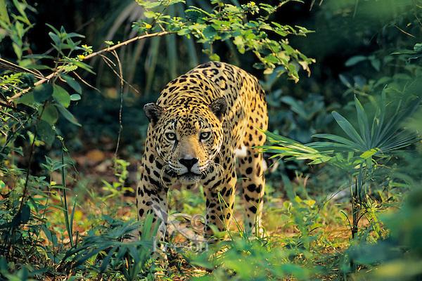 Jaguar (Panthera onca), Central America, tropical rainforest.
