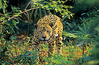 Jaguar (Panthera onca), Central America, tropical rainforest.