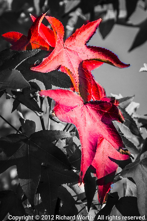 Select leaves keep their fall colors as their neighbors are turned black and white.