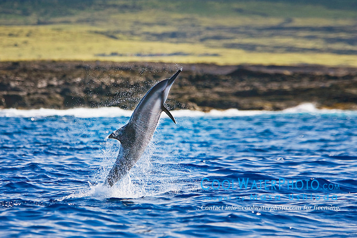 Long-snouted Spinner Dolphin, adult leaping, Stenella longirostris, off Kona Coast, Big Island, Hawaii, Pacific Ocean.