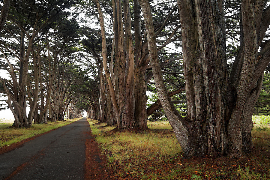 Rows of Monterey cypress trees forming a tree tunnel near historic RCA/Marconi station, Point Reyes National Seashore, California, USA