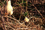 A08AY0 Free range hen with newly hatched yellow chick in woods