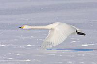 A Whooper Swan flys low near Kawayu Onsen, Hokkaido, Japan, February 2008