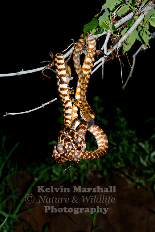 "A pair of  Brown tree snakes (Boiga irregularis) also known as ""night tigers"", await patiently as each evening around dusk, Undara's population of microbats - estimated at around 250,000 in total - fly out from deep within the lava tubes to search the volcanic landscape for insects."