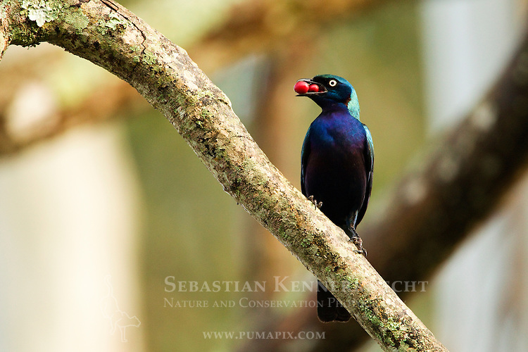 Splendid Glossy-Starling (Lamprotornis splendidus) carrying fruit, Kibale National Park, western Uganda