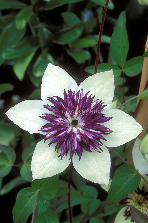 Clematis florida 'Bicolor' = Clematis florida var sieboldiana aka Clematis sieboldii
