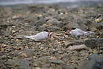3021 001  Good Day Fishing - Arctic Terns (Stema paradisaea) Ellesmere Island, Canada..#PRINT-3021.00
