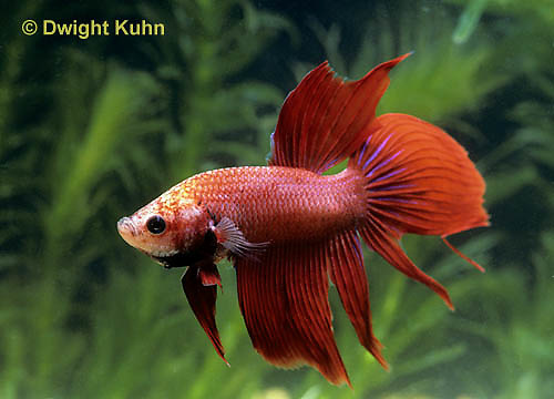 BY02-005z  Siamese Fighting Fish - male - Betta splendens