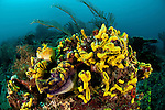 A carpet of yellow sea cucumber (Colochirus robustus) in the reef. North Raja Ampat, West Papua, Indonesia