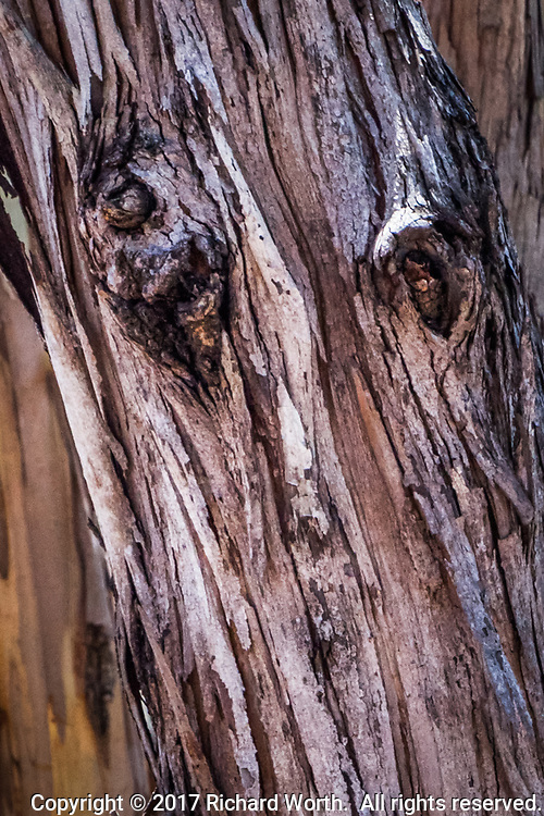 Close-up of the peeling bark and knots of a eucalyptus tree at Point Pinole Regional Shoreline on San Pablo Bay