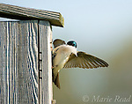Tree Swallow (Tachycineta bicolor) taking feather into bird house as nest lining, Ithaca, New York, USA