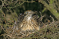 Greater Roadrunner, Geococcyx californianus,adult on nest with young in Paloverde (Parkinsonia texana) , Starr County, Rio Grande Valley, Texas, USA