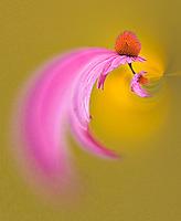Fantasy version of Purple Coneflower, Echinacea purpurea, Louisville, Kentucky