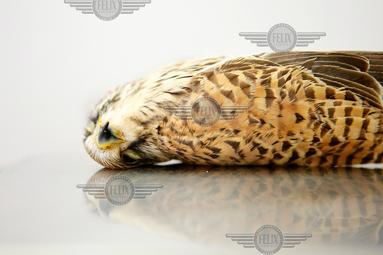A Common Kestrel recovered from Hal Far by Spring Watch Malta.  The bird was found to be suffering multiple fractures to its left wing with embedded shotgun pellets.  The bird was put down by a vet. Under EU leglislation, hunting or trapping birds in spring is illegal but the government of Malta, which joined the EU in 2004, allows hunting of turtle dove and quail at this time of year. Some 170 species of bird pass over Malta during the spring and autumn migration periods. Hunters regularly shoot other species including birds of prey which are stuffed for private collection. Spring Watch Malta is a conservation camp run by BirdLife Malta, a non-profit which lobbies against bird hunting in the country. In 2012, fifty volunteers from across Europe converged on a tourist hotel in Bugibba in northern Malta and fanned out to track migrating birds and monitor any illegal spring hunting by the 11,000 permitted hunters....