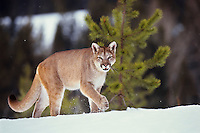 Mountain Lion or cougar (Puma concolor).  Western U.S., winter.