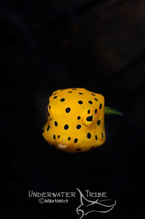 Juvenile yellow boxfish, Ostracion cubicus, Bima, Sumbawa, Nusa Tenggara, Indonesia, Pacific Ocean
