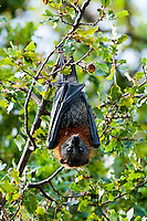 Grey-headed flying fox (Pteropus poliocephalusis) is a megabat native to Australia. The species shares mainland Australia with three other members of the genus Pteropus: the little red flying fox (P. scapulatus), the spectacled flying fox (P. conspicillatus), and the black flying fox (P. alecto).) - Mitchell River, East Gippsland - Victoria, Australia.
