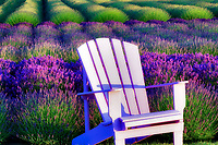 Chair in lavender field. Angels Lavender Farm. Washington