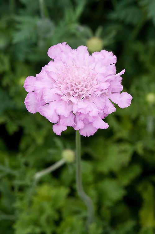 Pink scabious (Scabiosa africana 'Jocelyn').