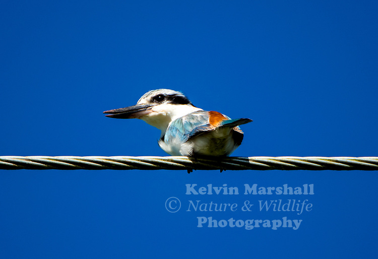 Red-backed kingfisher (Todiramphus pyrrhopygius) is a species of kingfisher in the subfamily Halcyoninae, also known as tree kingfishers. It is a predominantly blue-green and white bird with a chestnut rump. It is found across the continent of Australia, mainly inhabiting the drier regions.
