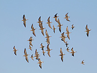 Ruff flock with Dunlin
