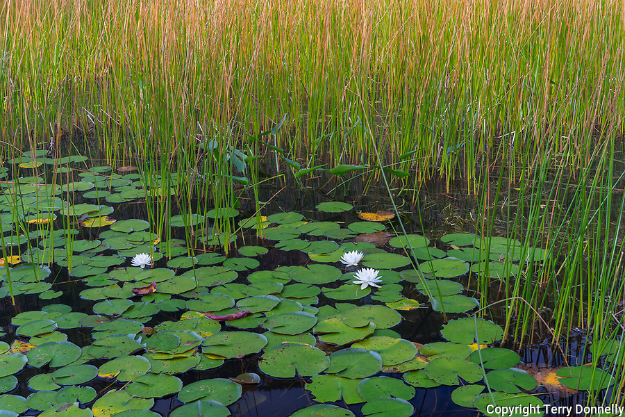 Acadia Naional Park, Maine:<br /> Wetland marsh with lillypads and sedges