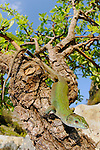 An Italian Wall Lizard (Podarcis sicula) basking on a tree branch, Sicily, Italy.