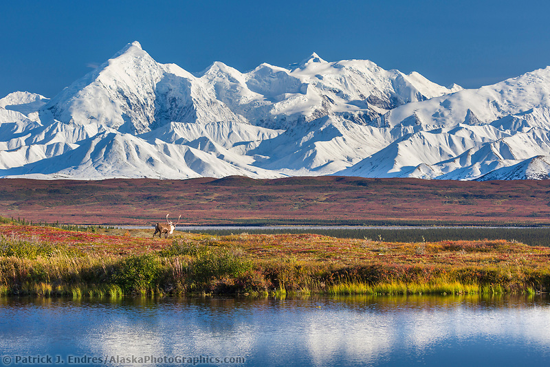 Bull caribou on the colorful autumn tundra by a pond in Denali National Park, Interior, Alaska
