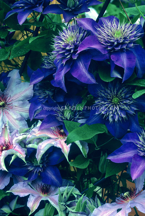 Clematis Multi-Blue, blue flowered perennial vine, yellow anthers, with a pinkish clematis, two vines planted together