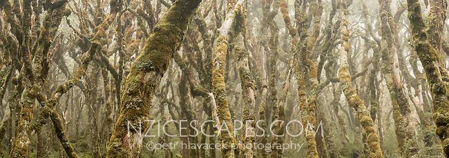 Moss cloaked beech trees near Lake Mackenzie on Routeburn Track, Fiordland National Park, Southland, South Island, UNESCO World Heritage Area, New Zealand, NZ