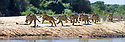 Female jaguar (Panthera onca) running along a sand spit chasing after a caiman. Northern Pantanal Cuiaba River, Mato Grosso, Brazil. Composite image of seven frames from a sequence of 20+ images.