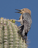 Gila Woodpecker, Tucson Mountain Park, Arizona