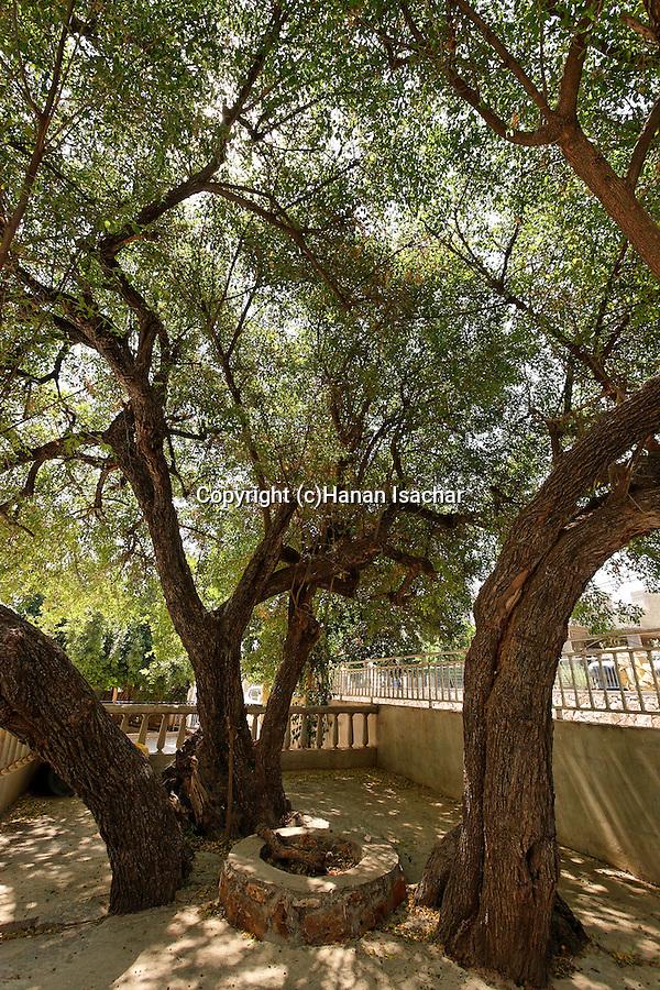 Israel, the Lower Galilee. The Jujube tree of Nabi Shueib in Mrar