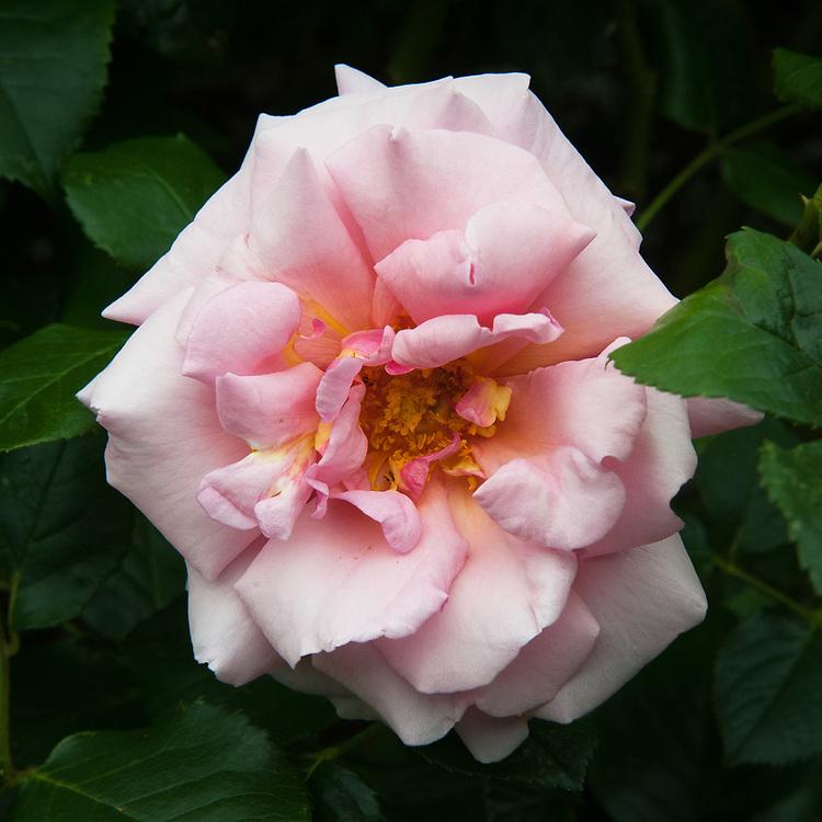 Rosa 'Aloha', late June. A vigorous, pink, Climbing Hybrid Tea rose.