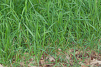 Hundsquecke, Hunds-Quecke, Quecke, Agropyron caninum, Elymus caninus, Elytrigia canina, bearded wheat grass bearded couch