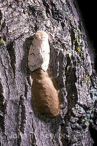 Gypsy moth with eggs