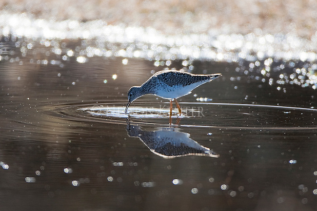 A Sandpiper feeds in a shallow pond in the Lee Metcalf National Wildlife Refuge in Montana's Bitterroot Valley