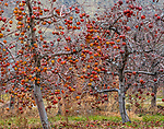 Unharvested apples (Malus pumila) due to a combination of a huge crop and labor shortages, Washington, USA <br /> <br /> Sony ILCE-9, FE 100-400mm F4.5-5.6 GM OSS lens, f/16 for 1/250 second, ISO 1600