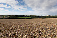 22.7.2020 Wheat field in Rutland  <br /> ©Tim Scrivener Photographer 07850 303986<br />      ....Covering Agriculture In The UK.