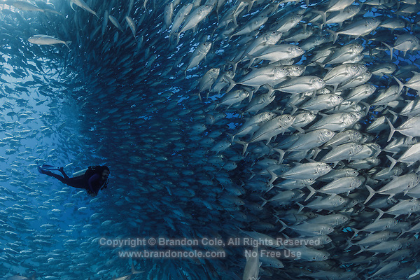 TW1121-D. Scuba diver (model released) swims amongst a huge spawning aggregation of Bigeye Jacks (Caranx sexfasciatus) comprised of many thousands of fish. Fish stocks have rebounded significantly with strict protection. Cabo Pulmo National Park. Baja, Mexico, Sea of Cortez, Pacific Ocean.<br /> Photo Copyright &copy; Brandon Cole. All rights reserved worldwide.  www.brandoncole.com